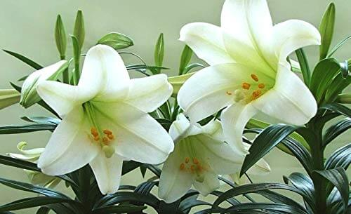 Lily Perfume