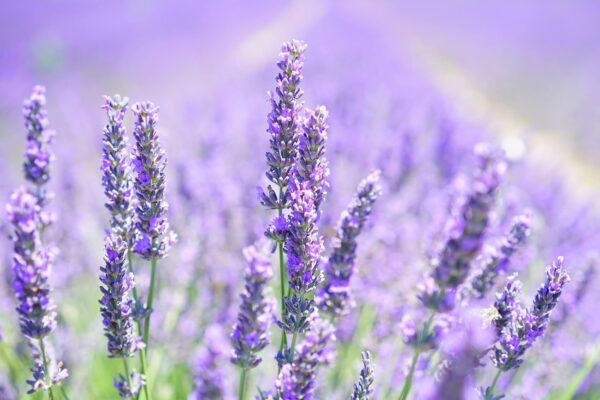 lavender-Perfume